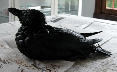 Razorbill oiled